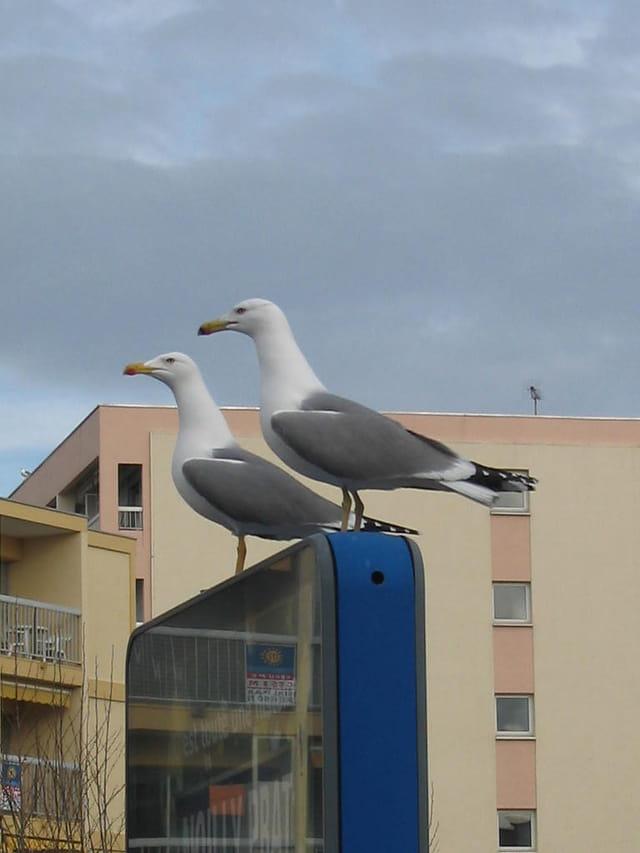 Couple de goëlands