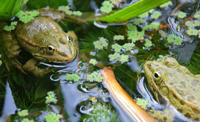Couple de grenouilles