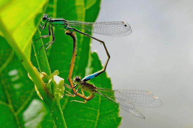 Couple de libellules