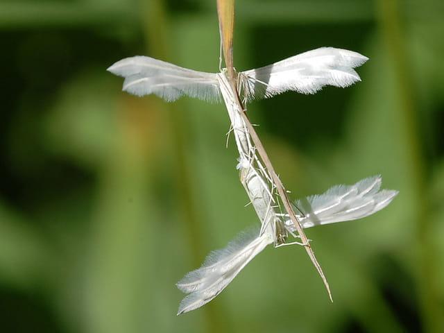 Couple de Ptérophore blanc