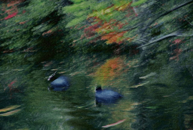 Couple oiseaux d'eau