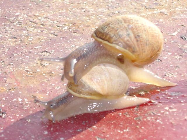 Course d escargots