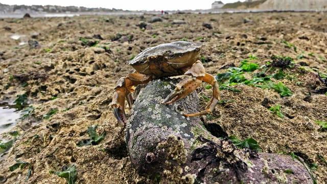 Crabe seul au monde