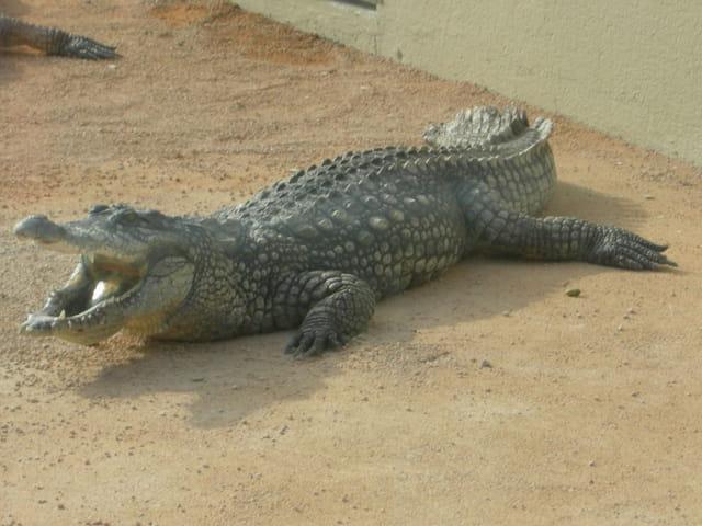 Crocodile dents...dit