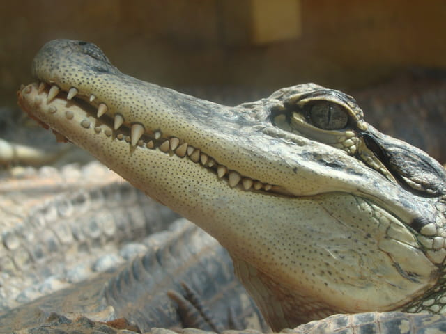 Crocodile du Nil (Bébé)