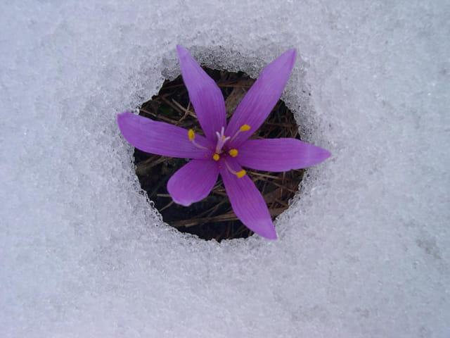 Crocus à la neige