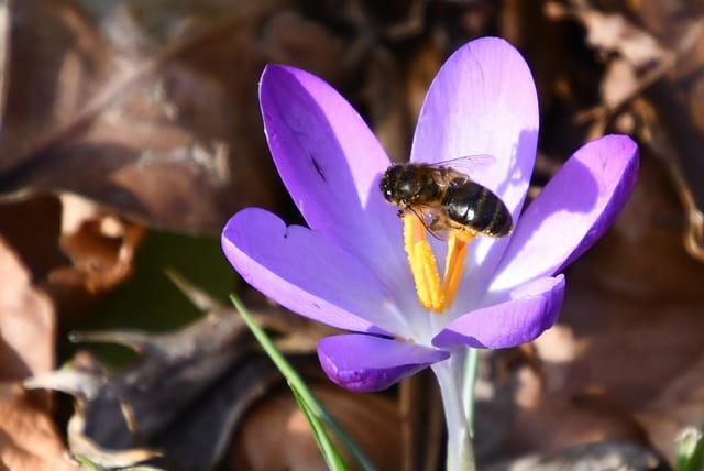 Crocus et son abeille