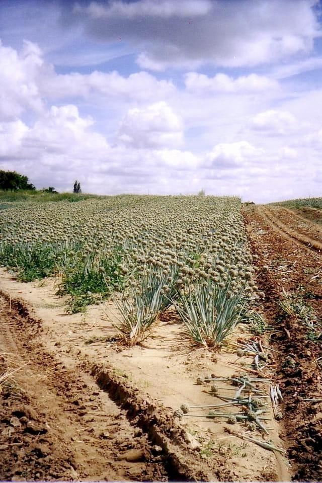 Culture des oignons en plein champ par yvette gogue sur l 39 internaute - Culture haricot vert plein champ ...