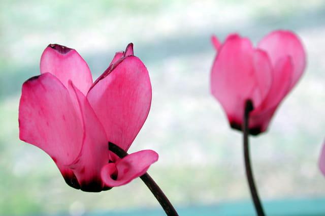 Cyclamen-rose
