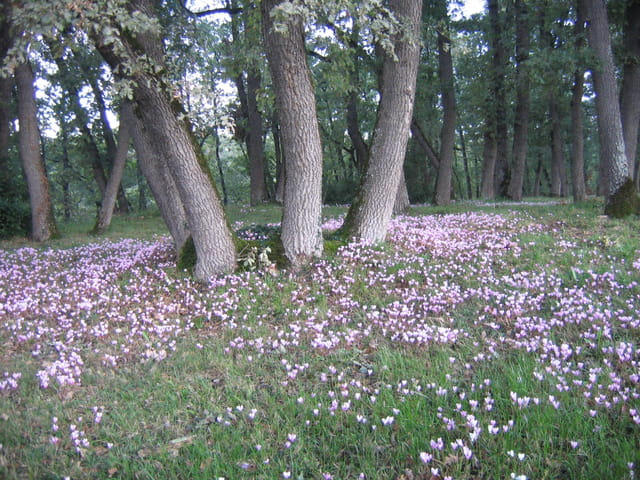 Cyclamens d'automne