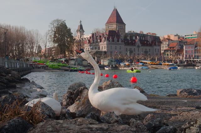 Cygne à Ouchy-Lausanne