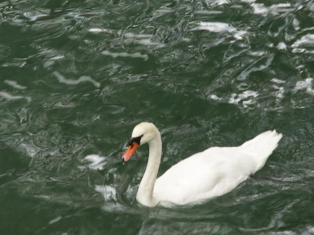 Cygne, lac d'Annecy