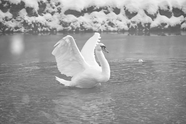 Cygne sur l'eau en hiver 07