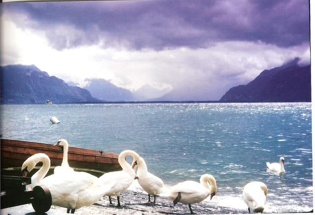 Cygnes au lac de Genève