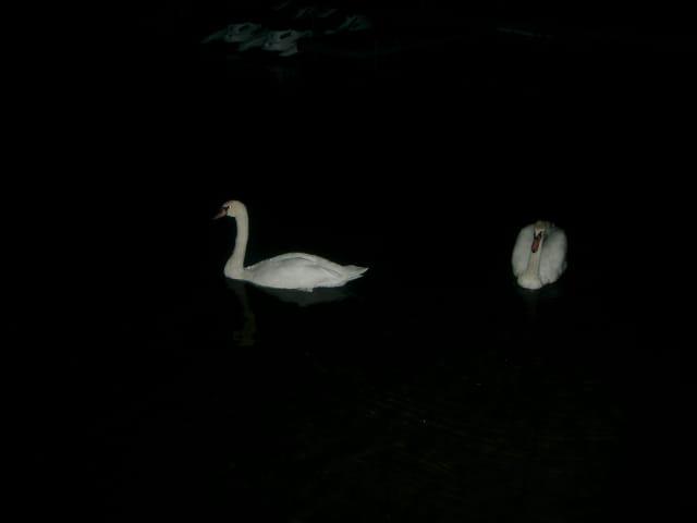 Cygnes dans la nuit