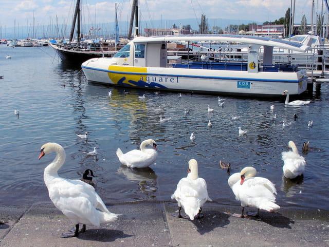 Cygnes du lac léman
