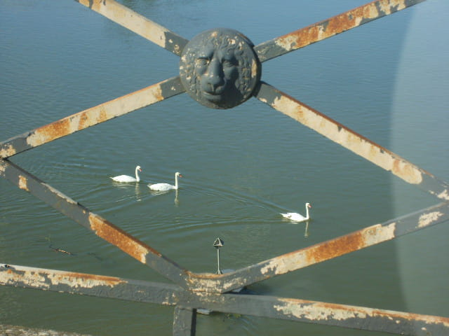 Cygnes sous le pont