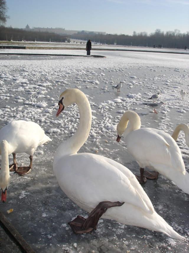 Cygnes sur canal gelé