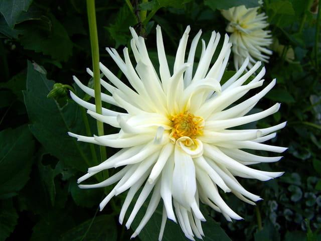 Dahlia blanc pur