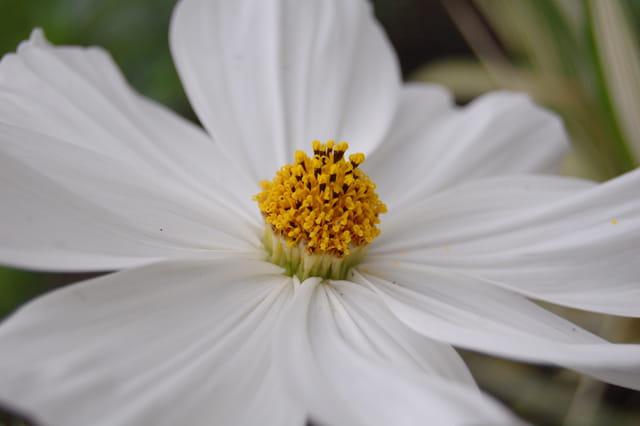 Dahlia daisy blanc