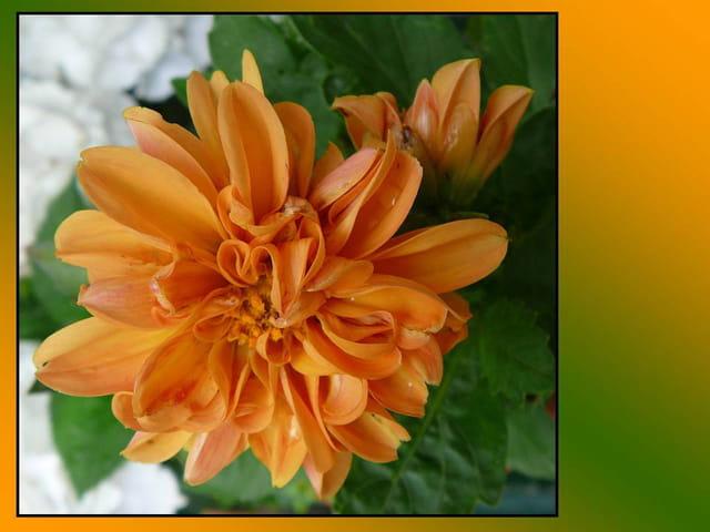 Dahlia nain orange
