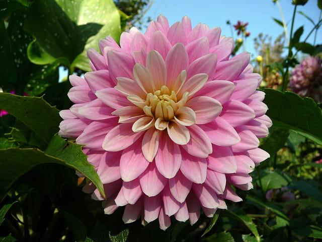 Dahlia rose sur fond de ciel bleu
