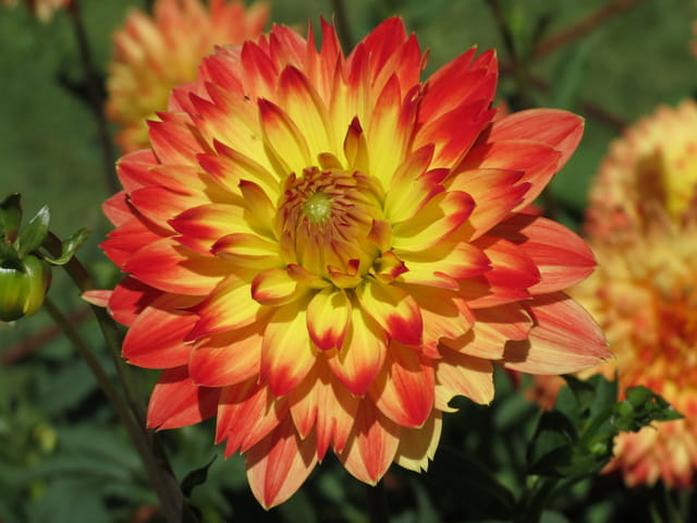 Dahlia rouge à coeur jaune