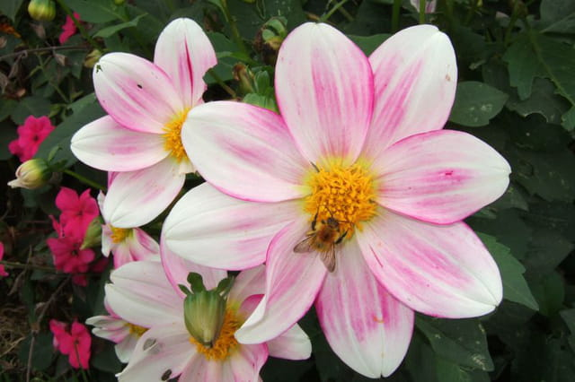 Dahlias nains et abeille
