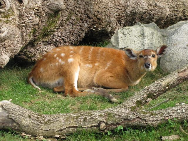 Daim craintif au zoo d'Asson