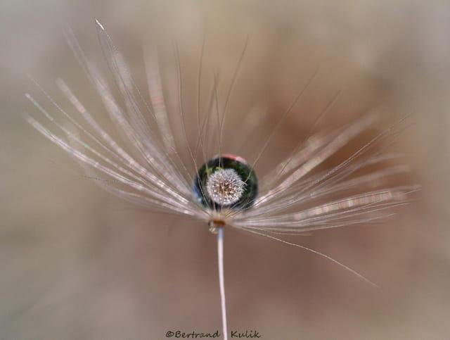 Dandelion drop