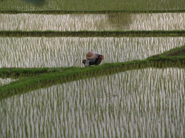 Dans la rizières