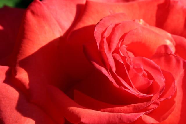Dans les plis de la rose