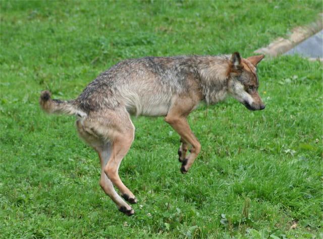 Danse avec le loup