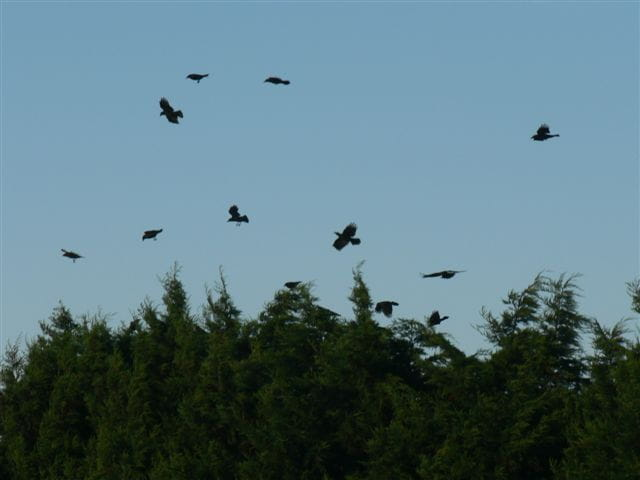 Danse des corbeaux
