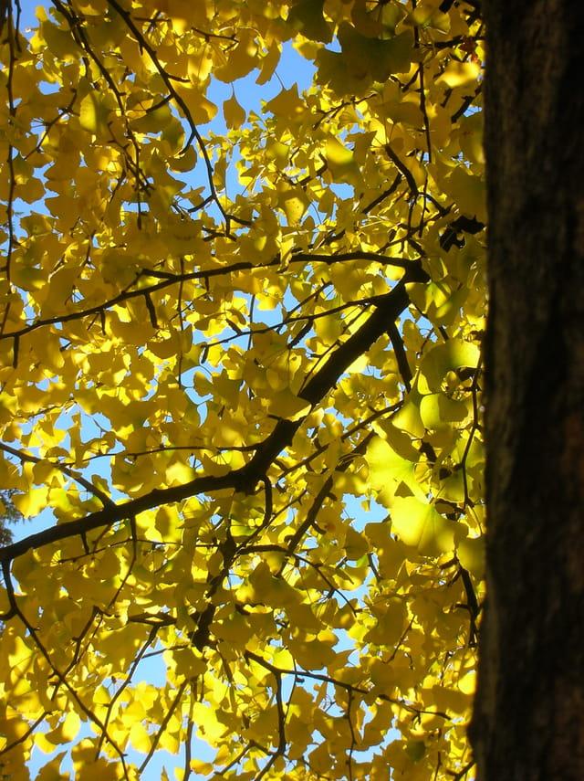 De l'or sur les arbres
