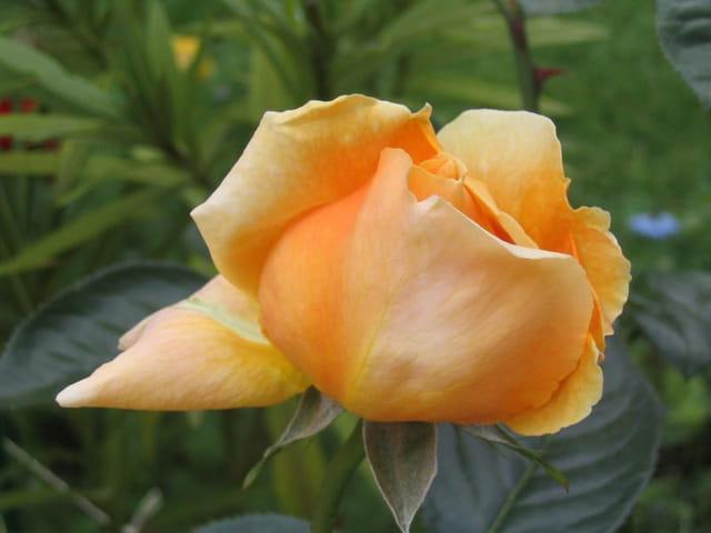 Début de floraison