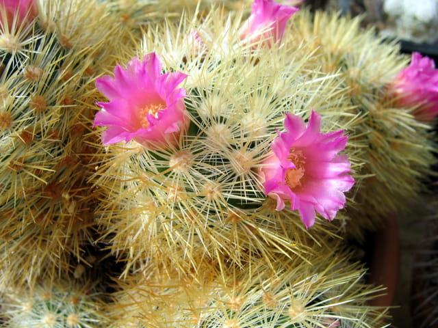Début de floraison des cactées