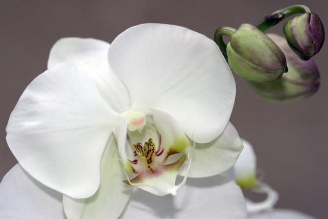 Délicate orchidée