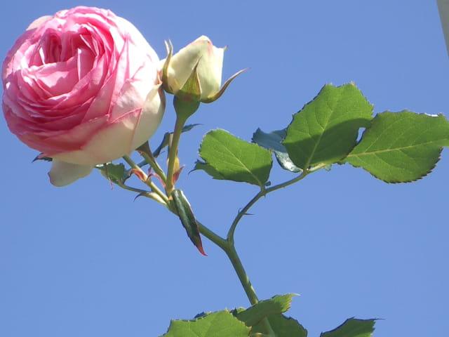 Délicate rose !