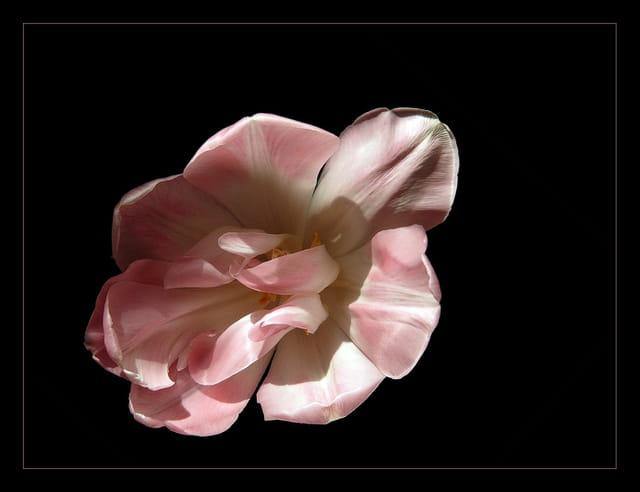 Délicate tulipe