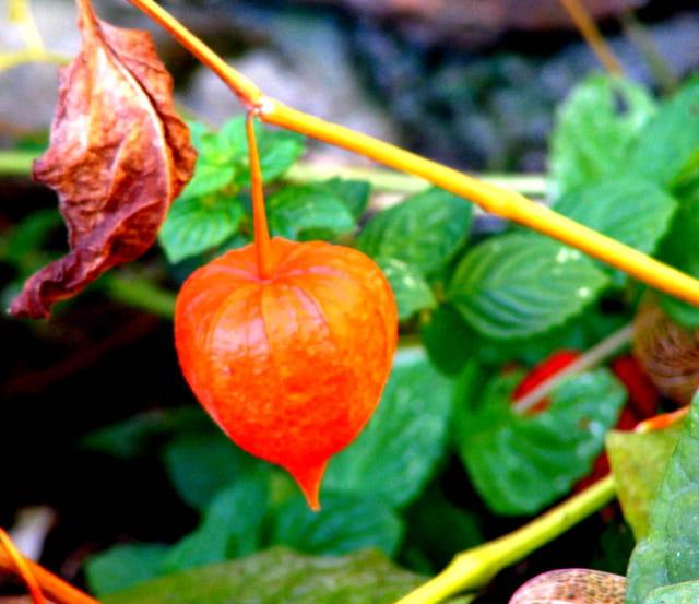 Dernier fruit avant le froid...