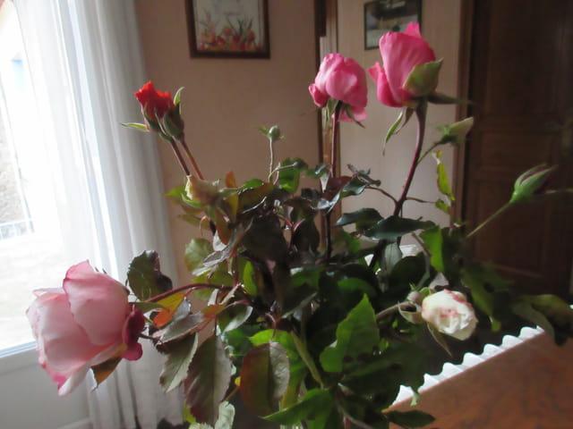 dernières roses du jardin
