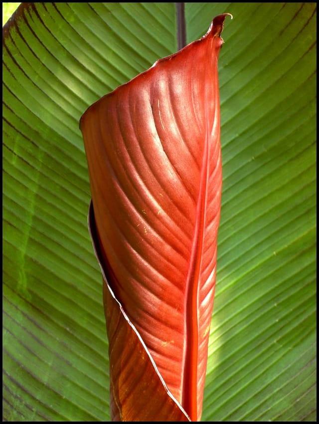 Déroulé du feuillage de Canna tropicana