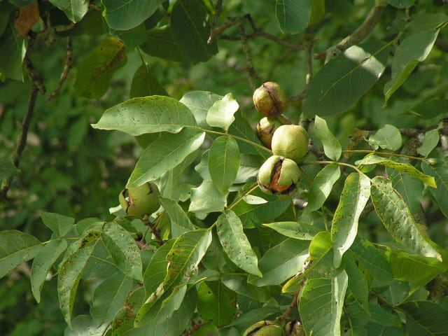 Des noix toutes fraîches