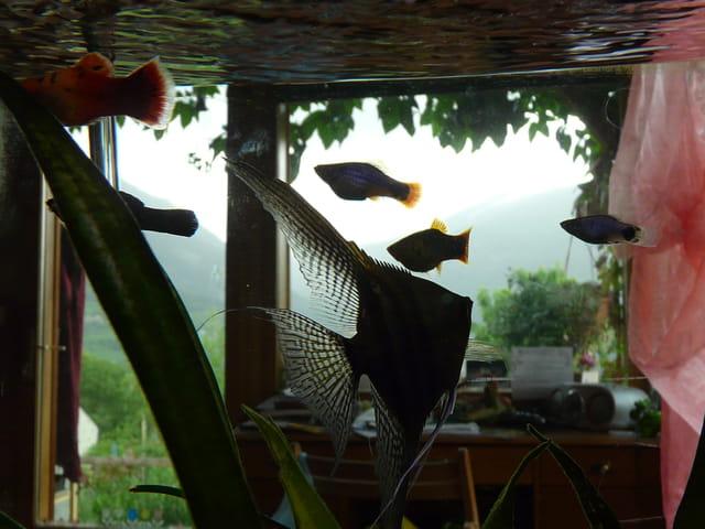 Des poissons dans le salon