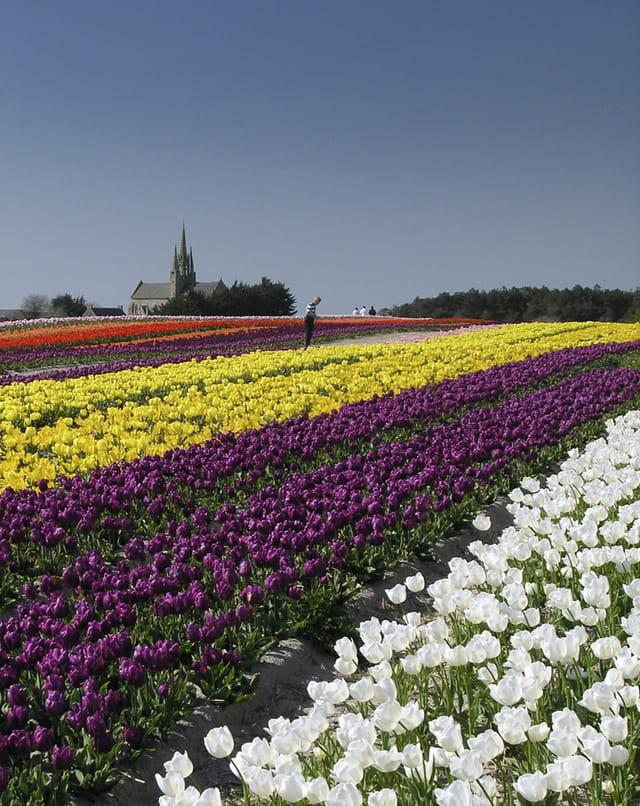 Des tulipes à perte de vue