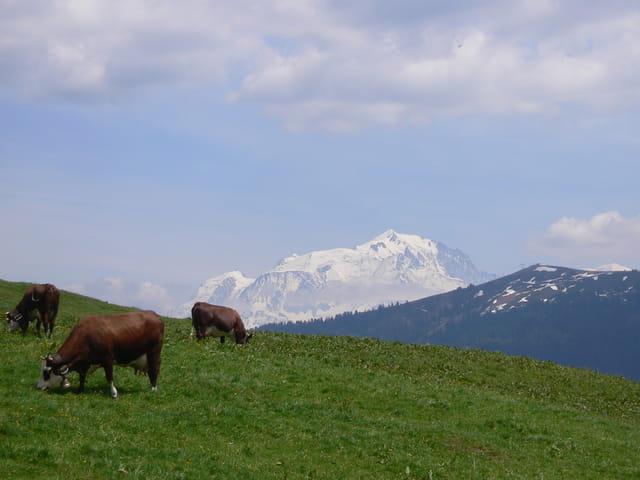 Des vaches au mont-blanc !