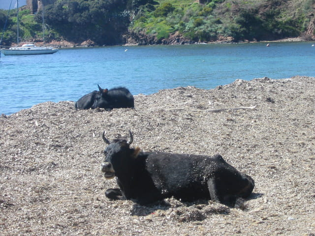 Des vaches en vacances