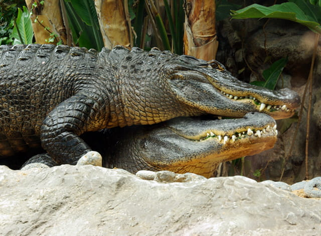 Deux amours de crocodiles
