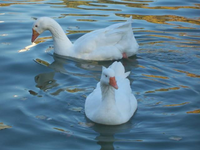 Deux beaux cygnes blancs